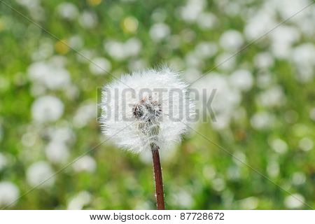 Close-up Of Dandelion In Green Meadow With Shallow Depth Of Field