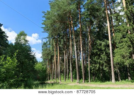 Footpath, Green Grass And Tall Trees In Forest In Sunny Summer Day