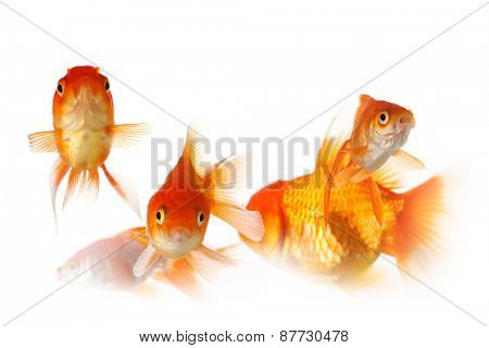 Group of gold fish isolated on white background