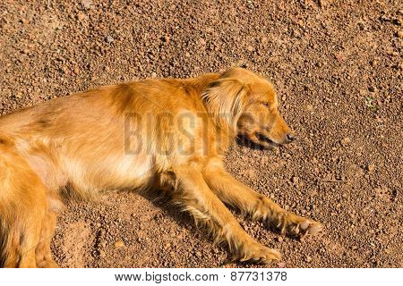 Brown Dog Is Sleeping On The Ground