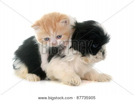 Persian Kitten And Puppy