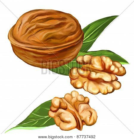 walnuts vector illustration  hand drawn  painted watercolor