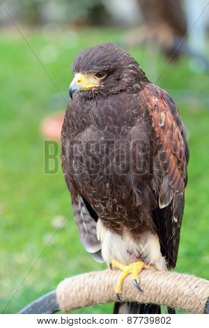 Harris' Hawk On A Perch