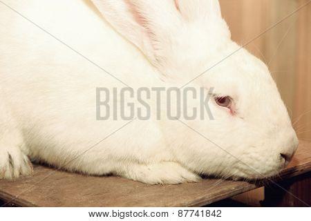 White Rabbit Muzzle.