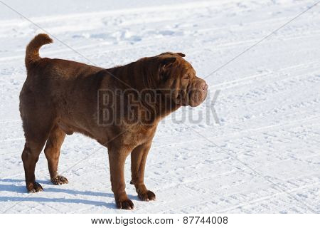 Brown Shar Pei