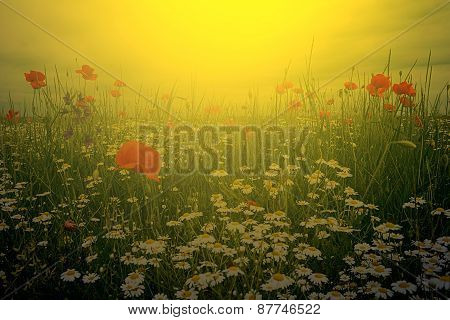 Landscape With Poppies And Chamomile In Sunset Light 1