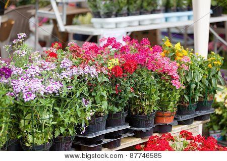 Blossoming Houseplants To Stand On A Street Show-window Of Flower Shop