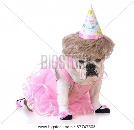 birthday dog - female bulldog wearing ballerina costume and birthday hat on white background