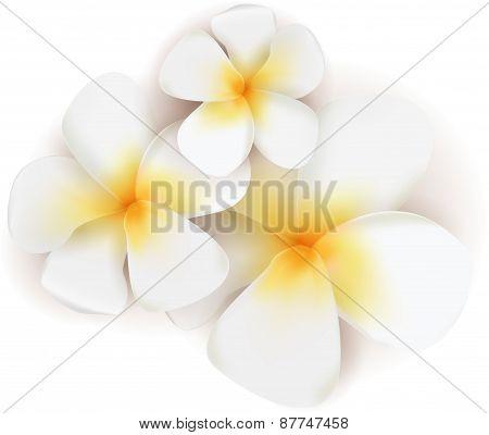 Vectro Frangipani Flowers