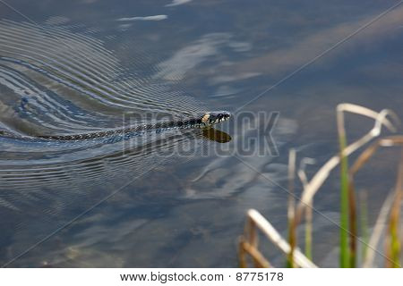 Natrix Natrix, Grass Snake
