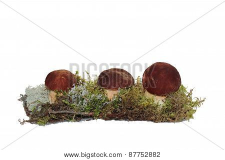 Three cep mushroom grown into the moss, isolated on white