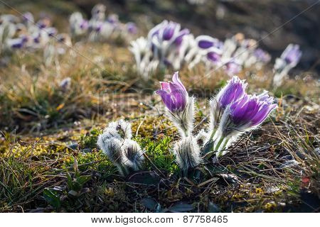 Blooming Pasque Flowers On Meadow