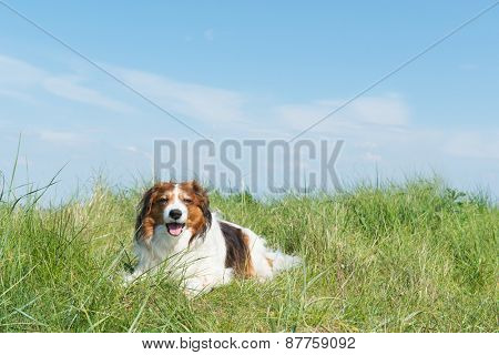 Typical Dutch dog kooikerhondje laying in the dunes