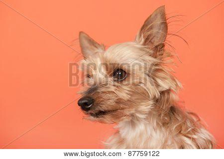 Yorkshire terrier on orange background