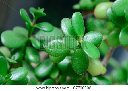 Money Tree Crassula