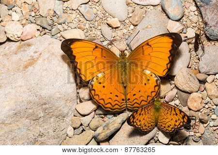 Large Yeoman And Small Leopard Butterfly