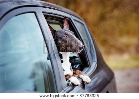 english bull terrier dog in a car window