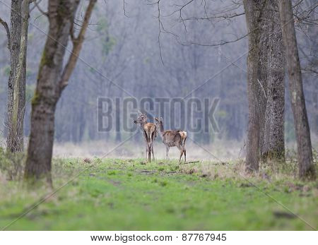 Hinds In Forest