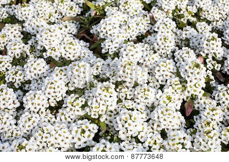 White Flowers Of Lobularia Maritima Or Alyssum Maritimum