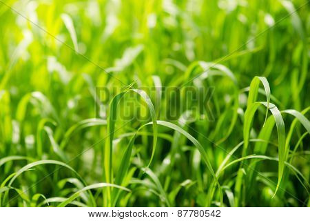 Bright Green Grass On Summer Field In Sunny Day. Sunlight In Spring Grass. Texture Background