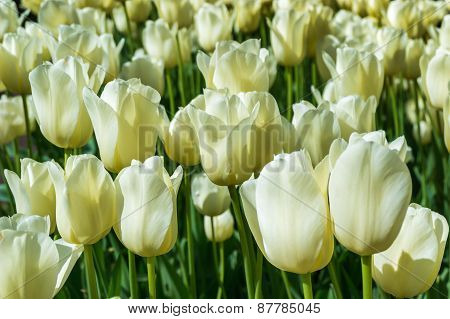 Garden Full Of Beautiful Tulips