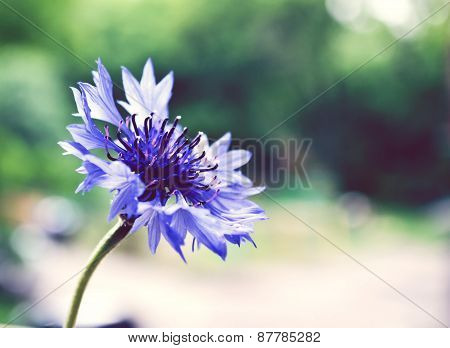One blue knapweed in a vase