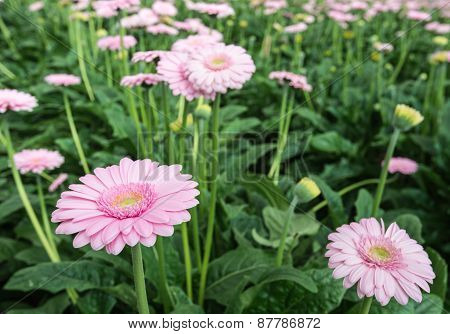 Pink Gerbera Flowers With A Yellow Heart