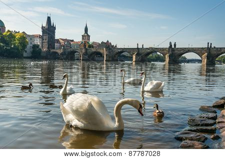 Swans On The Vltava River