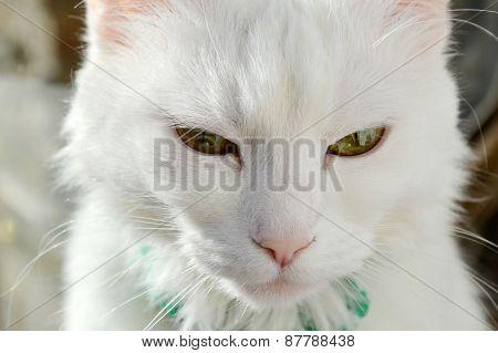 White angora cat looking cute and sleepy