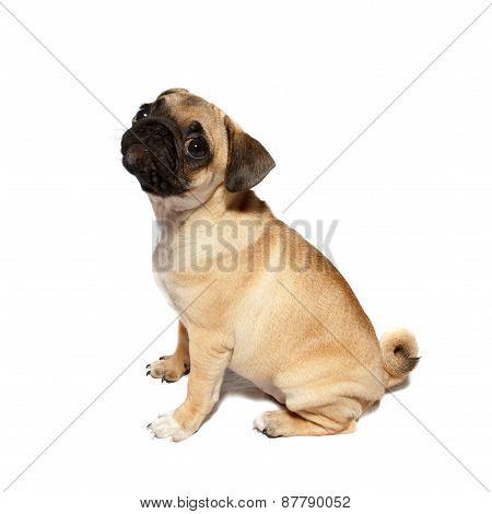 pug puppy sitting