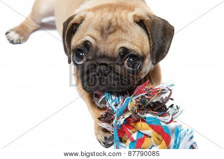 pug dog with a toy