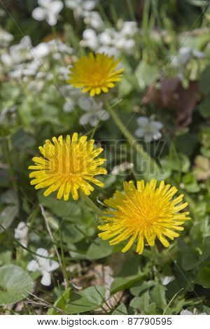Bright Yellow Dandilion Flowers Close Up