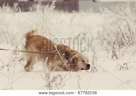 Golden Retriever Dog In Show With Instagram Style Filter