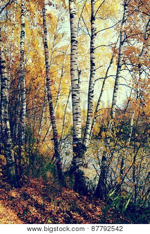 Birch Grove On The Lakeside Of Forest Lake With Instagram Style Filter