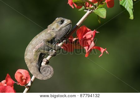 Flap-necked Chameleon Baby (chameleo Dilepis) Sleeping In The Sun With Flowers