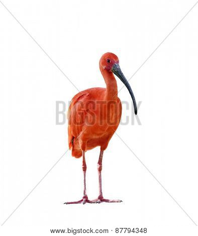 Scarlet Ibis Isolated On White Background