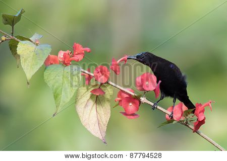 Black Sunbird (nectarinia Amethystina) Perched Drinking Nectar From A Flower