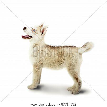 Siberian Husky dog stay on a white