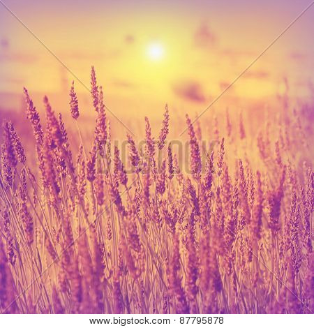 Vintage photo of lavender field at sunset.