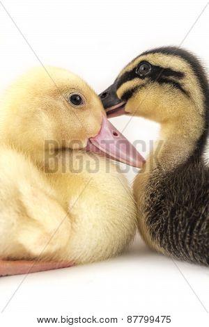 American Pekin Duckling