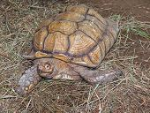 pic of spurs  - African spurred tortoise on the cut grass cover - JPG