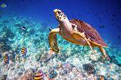 pic of hawksbill turtle  - Hawksbill Turtle  - JPG