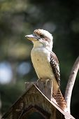 pic of kookaburra  - Australian laughing kookaburra perched on a backyard bird feeder.