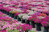stock photo of petunia  - Beautiful petunia blooming in garden - JPG