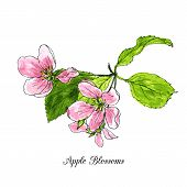 image of apple blossom  - spring flowers of apple tree - JPG