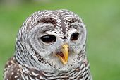 foto of hooters  - Closeup of the face of a barred owl Strix varia with the beak open - JPG