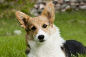 stock photo of corgi  - the face of a welsh corgi pembroke - JPG