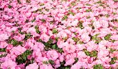picture of petunia  - texture Pink petunias in the great greenhouse - JPG