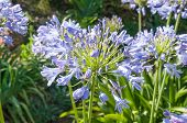 stock photo of plant species  - Agapanthus africanus a plant species indigenous to South Africa - JPG