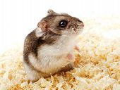 picture of hamster  - Djungarian hamster in sawdust on white background - JPG